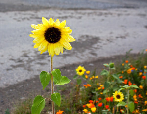 sunflower-and-wildflowers_Mk0kiP_O